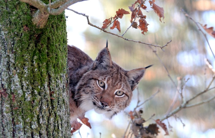 Wanted: Der Luchs
